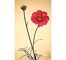 Cosmos Again Photographic Print