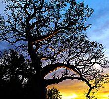 Boab Tree, Derby by Julia Harwood