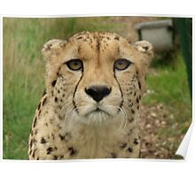 Memphisto - Cheeta at the Wildlife Heritage Foundation in Kent Poster