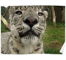 Nose to nose with a Snow Leopard  Poster