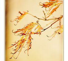 Autumn Acers by Suzanne Edge