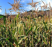 Field of Corn by Renee D. Miranda