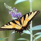 Swallowtail Butterflies by Terry Aldhizer