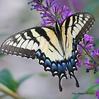 Swallowtail  by Terry Aldhizer