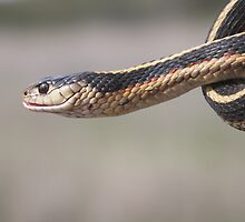 Western Red-Sided Garter Snake by John Butler