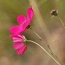 Even ants like PInk by Graeme M