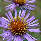 Fantastic Fall Flowers! New England Aster by Tracy Wazny