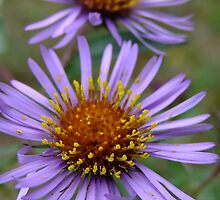 Fantastic Fall Flowers! New England Aster by Tracy Faught