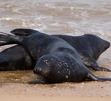 Seals Horsey Gap by pamtrezise