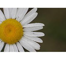 Dew Covered Daisy Edge Photographic Print