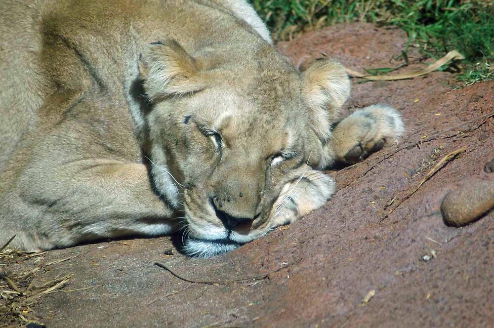 Lion Sleeping by lincolngraham