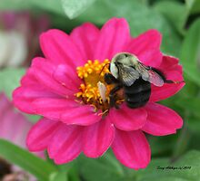 Dahlia With Bumble Bee by Terry Aldhizer