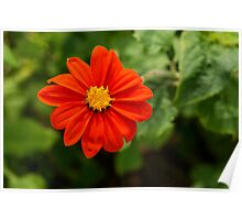 Dahlia In Bloom 13 Poster