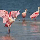 Roseate Spoonbill wingflap - Tampa Bay, Florida. by Daniel Cadieux