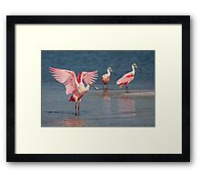 Roseate Spoonbill wingflap - Tampa Bay, Florida. Framed Print