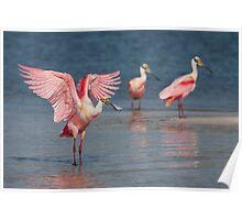 Roseate Spoonbill wingflap - Tampa Bay, Florida. Poster