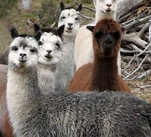 Alpaca Gang by yolanda