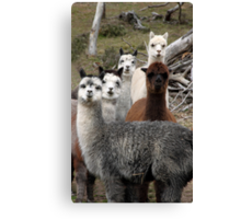 Alpaca Gang Canvas Print