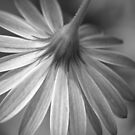Daisy Mono by Jon Staniland