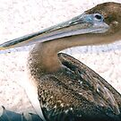 Brown pelican by  B. Randi Bailey