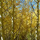 A Golden Aspen Grove by ThePhotoMaestro