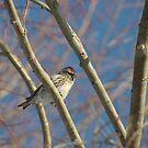 Common Redpoll by lar3ry