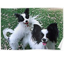 Papillions Puppies Poster