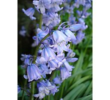 Spanish Bluebells Photographic Print