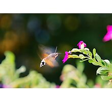 Hummingbird Hawk Moth Photographic Print