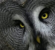 Great Grey Owl by Yampimon