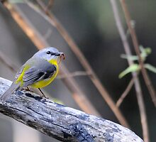 Eastern Yellow Robin by Moorey