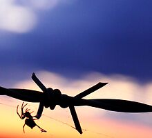 Spider on Barb Wire | Hay NSW by vanderson