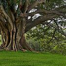 Moreton Bay Fig by Dianne English