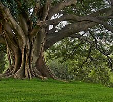 Moreton Bay Fig by Dianne English