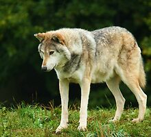 European Timber wolf by JanSmithPics