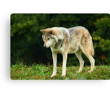 European Timber wolf Canvas Print