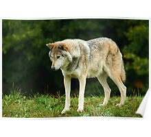 European Timber wolf Poster