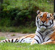 Amur Tiger (Siberian) by JanSmithPics