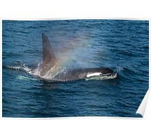 Orca whale with Rainbow Poster