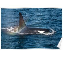 Killer Whale Orca Poster