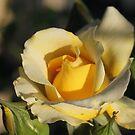 Golden Yellow Rose by Susan Moss