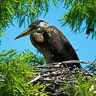 Great Blue Heron in her Nest by Photography by TJ Baccari