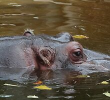 Hippo Eye by Stephen Mitchell
