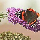 Autum Butterfly by Robert Abraham