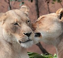Lion Kiss by Stephen Mitchell