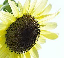 Sunflower Glow by JECunningham