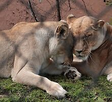 Lion Love by Stephen Mitchell