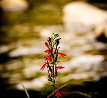 Red flower standing tall in a creek by photographyjk