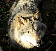Timber wolf by Marikim