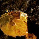 Birch leaf in river by Aaron Bottjen